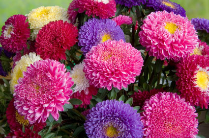 September, Aster · Birth flower for September is Aster