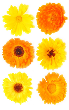 Birth flower for October is Calendula