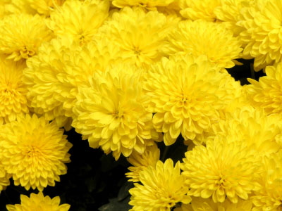 Birth flower for November is Chrysanthemum