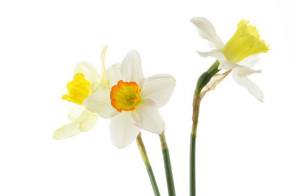 Birth flower for March is Jonquil