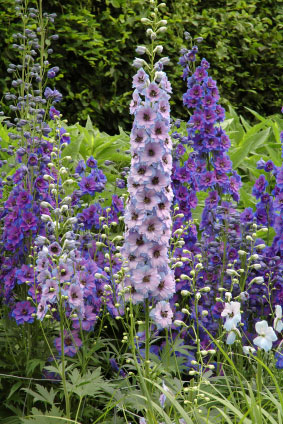 Birth flower for July is Larkspur