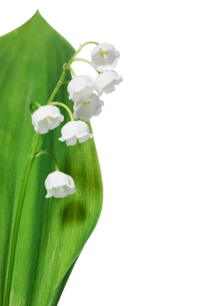 Birth flower for May is Lily of the Valley