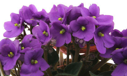 Birth flower for February is Violet
